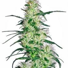 high yielding exotic strains