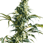 Mexican Sativa from sensi seeds