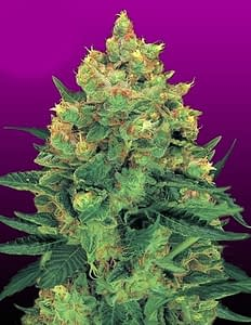 hash plant feminised from crop king seeds