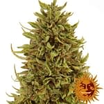 Pineapple express auto from 420 seeds review