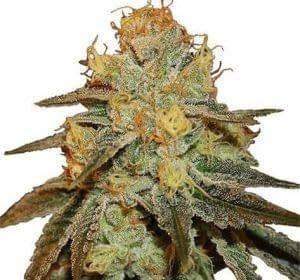 highest thc strains Bruce Banner