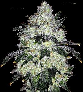 White Cookies Feminized Marijuana Strains