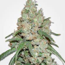 best mold resistant strains