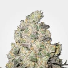 Blue cheese mold resistant strains