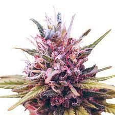 growing marijuana in cold weather zkittlez