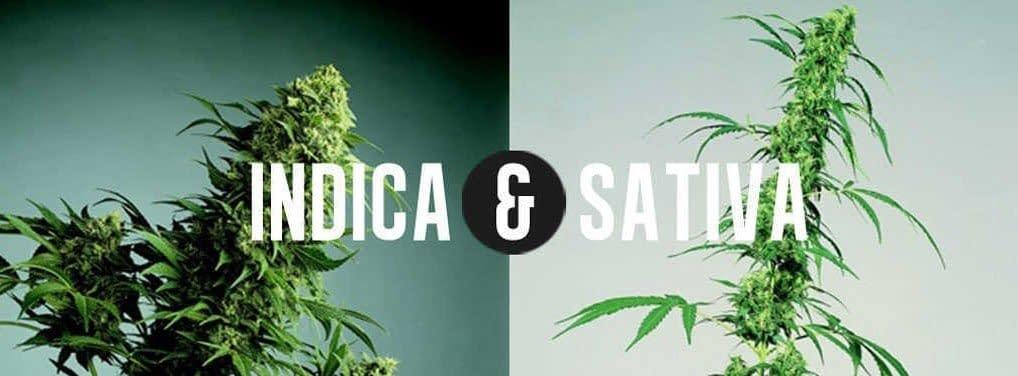 new Indica and Sativa Phenotypes