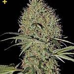 Super Bud autoflower 420 seeds review