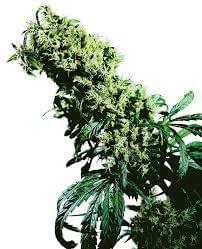 Northern Lights #5 x Haze cannabis seeds review