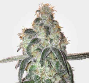 Highest THC strains Dos Si Dos