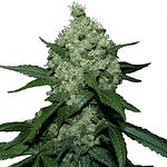 Super skunk feminised cannabis seeds from ILGM seedbank