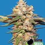 Big Bomb Auto 420 seeds review