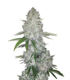 gorilla glue #4 feminised high yield strains