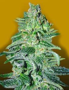 Amnesia Haze Auto from crop king Seeds