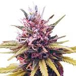 Zkittlez feminised cannabis seeds from ILGM seedbank