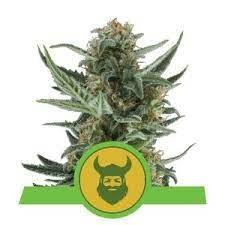 growing marijuana in cold weather Royal Dwarf