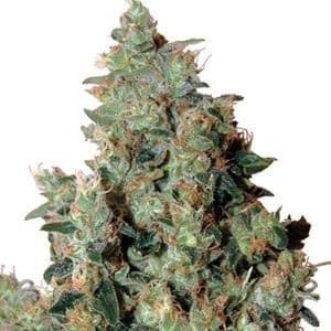 high yield Autoflower Tangerine Dream