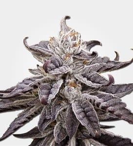 grand daddy purple autoflower seeds
