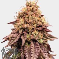 high yield strain mimosa feminised msnl seedbank