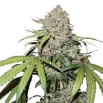 think fast feminised 420 seeds review