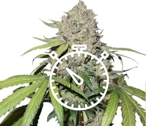 The best fast flowering strains