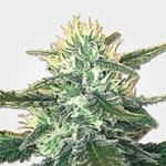 MSNL seed bank review White widow max