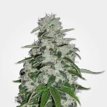 Blueberry is one of the best strains for treating insomnia