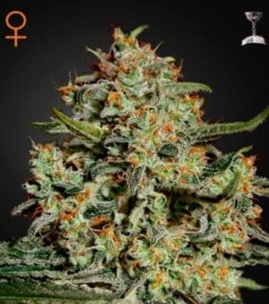 high yield strain Big Bang feminised from 420 seeds