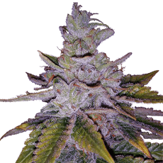 Purple Kush one of the best indica strains for sleep