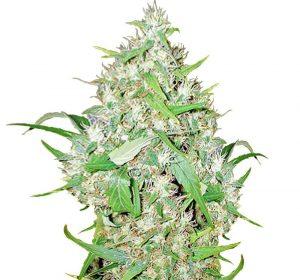 big bud feminised high yield strain