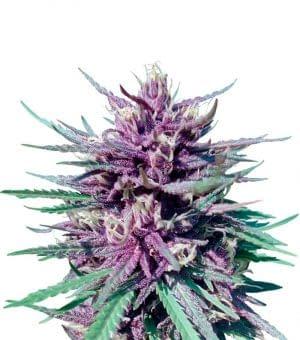 highest yielding autoflower strain Purple Skunk Auto from sensi seeds