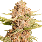 girl scout cookies extreme feminised from ILGM seedbank