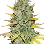 gold leaf cannabis seeds from ILGM seedbank