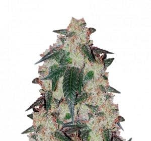 Girl Scout Cookies cannabis bud