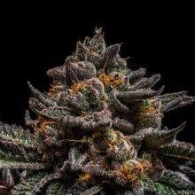 exotic weed strains