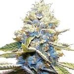 skywalker og cannabis seeds from ILGM seedbank