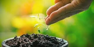 cannabis seedling being watered by hand
