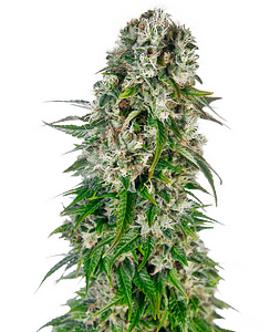 Big Bud Auto recommended for big yields