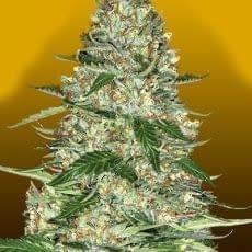 northern lights autoflower from crop king seeds