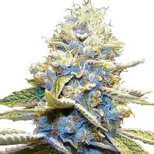 ILoveGrowingMarijuana review skywalker og