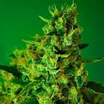 Incredible bulk feminised from 420 seed bank 420 seeds review