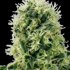 high yield strain Power plant feminised sensi seeds