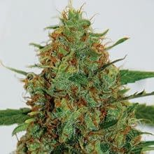 exotic strains