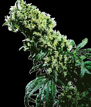 Highest thc strains 2021