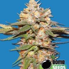 high yielding autoflower strain Big bomb feminised cannabis seeds from 420 seeds