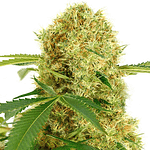 White widow feminised cannabis seeds from ILGM seedbank