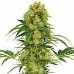 big bud is the highest yielding strain