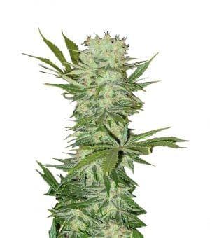 high yield strain G13 Haze Feminised from MSNL