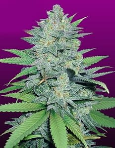 Green Crack feminised from crop king seeds