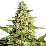 afghan marijuana seeds ILGM seedbank