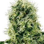 Pure Power Plant feminised from sensi seeds